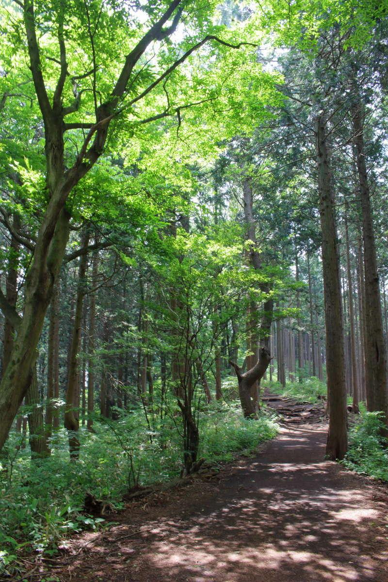 新緑と木漏れ日がきれいな快適な縦走路