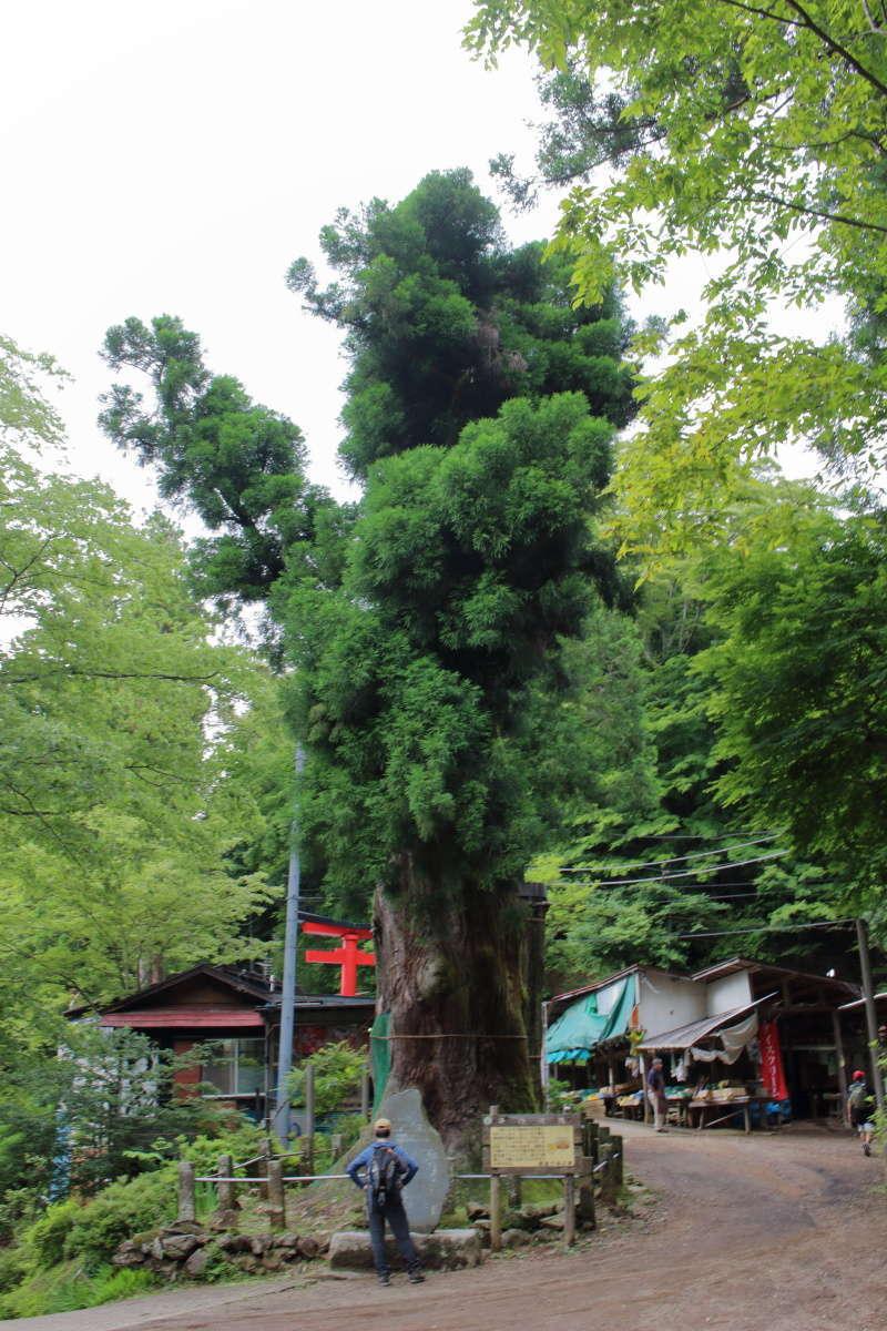鳥居の先には埼玉県の天然記念物「日本杉」、樹齢800年!