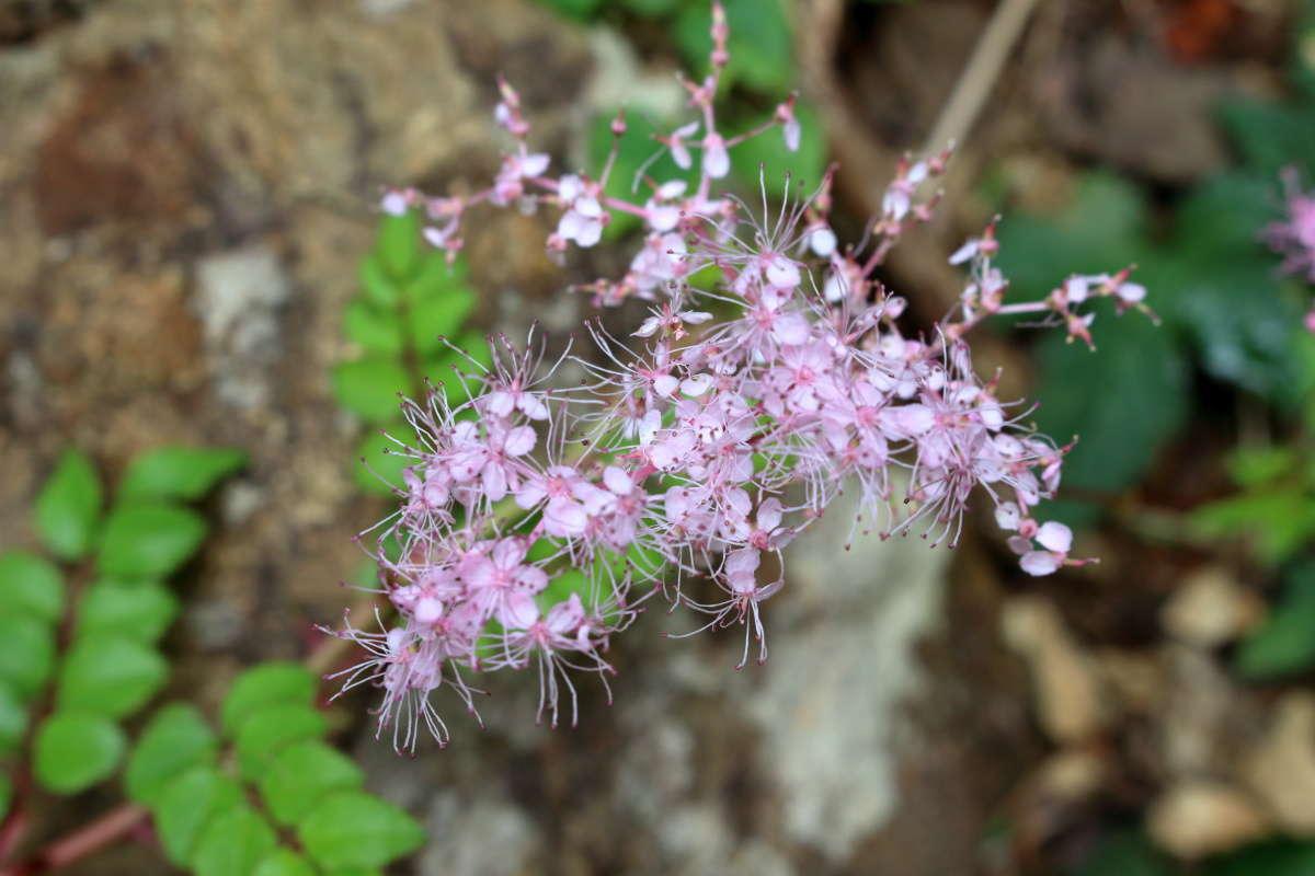 登山道の脇にたくさん咲いていた小さな花