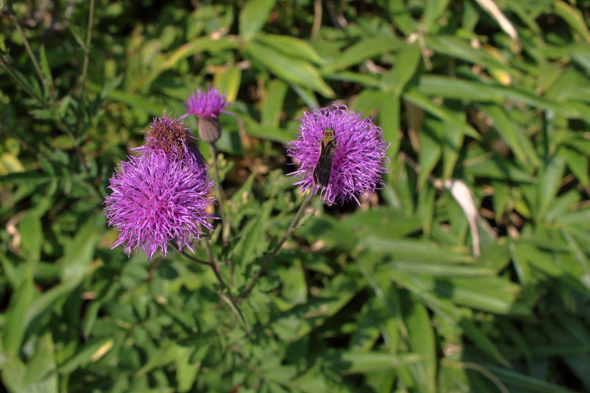 紫色が鮮やかな「ノハラアザミ」