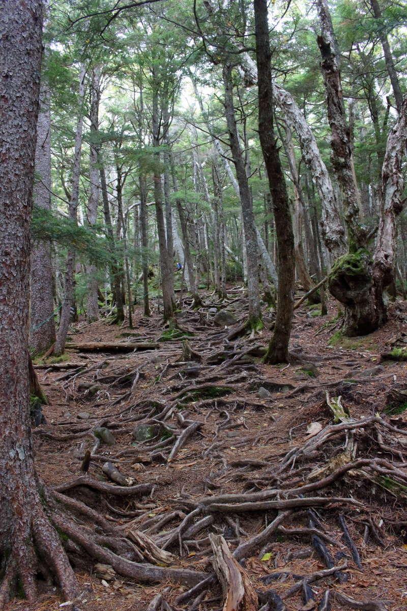 押手川から先は木の根っこがすごい急登へ